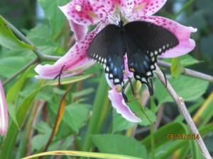 2014821butterflies 003